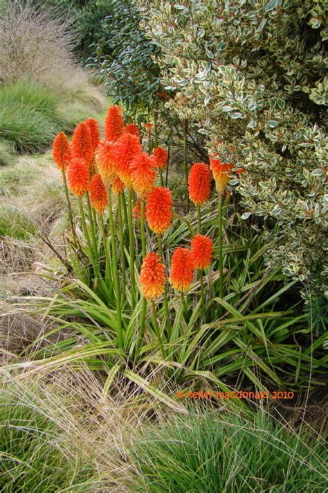 PlantFiles Pictures: Red Hot Poker, Torch Lily, Tritoma