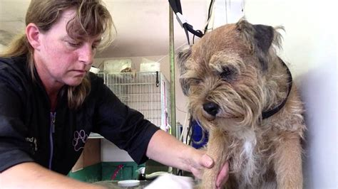 Hand stripping a Border Terrier Part 4 (using a stripping