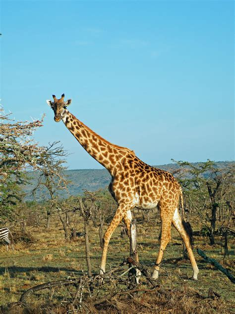 Giraffes Win International Protections to Limit Their