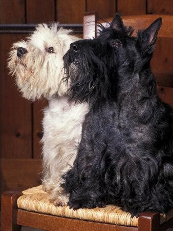 Domestic Dogs, West Highland Terrier / Westie Sitting on a