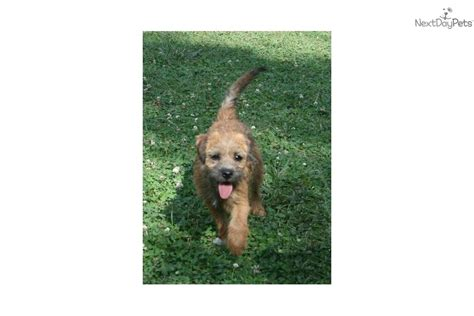 Meet Sassy a cute Border Terrier puppy for sale for $500