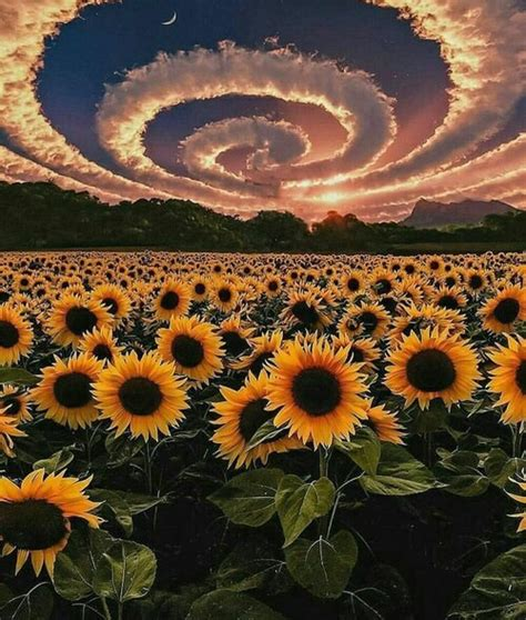 aesthetic pics — another sunflower aesthetic for y'all