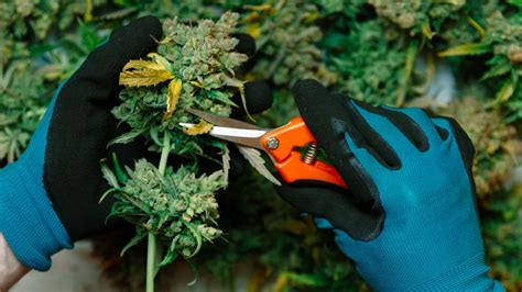 Dagga in South Africa: A 10-step guide to growing your own