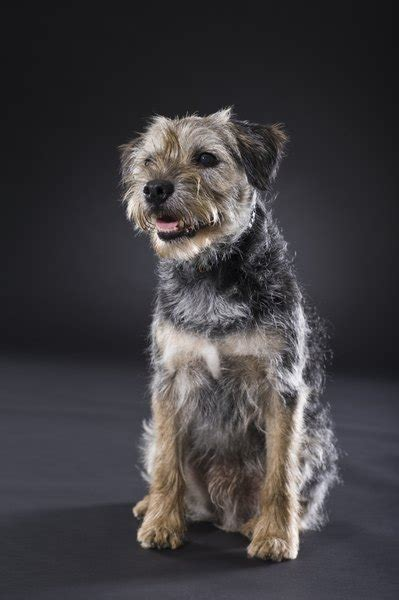 Can Border Terriers Be Raised With Cats? - Pets