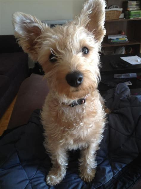 Westiepoo (West Highland White Terrier/Poodle Mix) Info