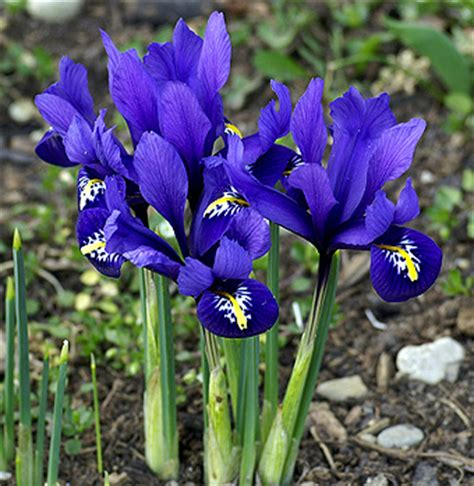 Iris Reticulata for sale! Buy online for: £ 2