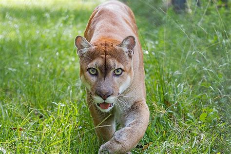 Florida Panther Facts: Animals of North America
